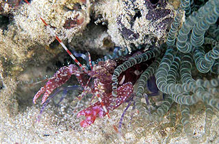 Diving Los Roques - cleansershrimp in corcscrew anemone